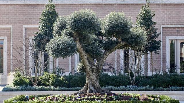 Olive trees are located in the Rome Italy Temple courtyard.